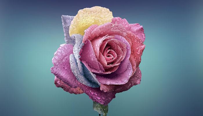 rosa de colores